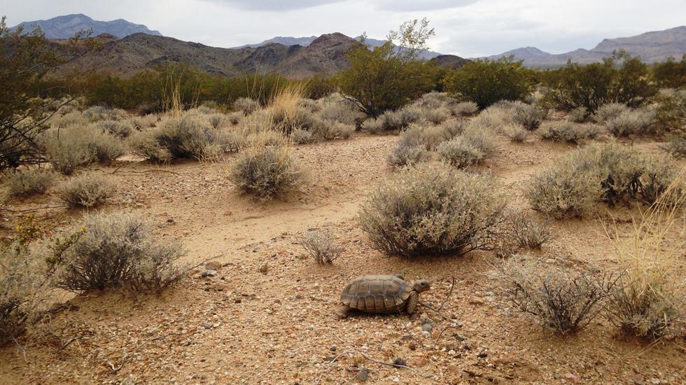 Desert Tortoise 004 980x550